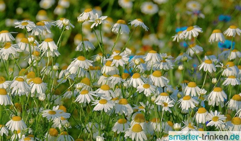 Kamillentee – auch im Sommer eine gute Idee